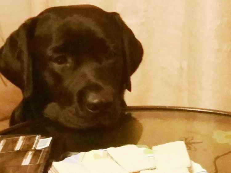 сколько живут собаки лабрадоры