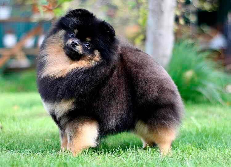 Combien de chiens vivants se reproduisent Spitz Pomeranian