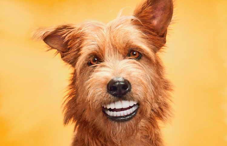 смена зубов у щенков йорка