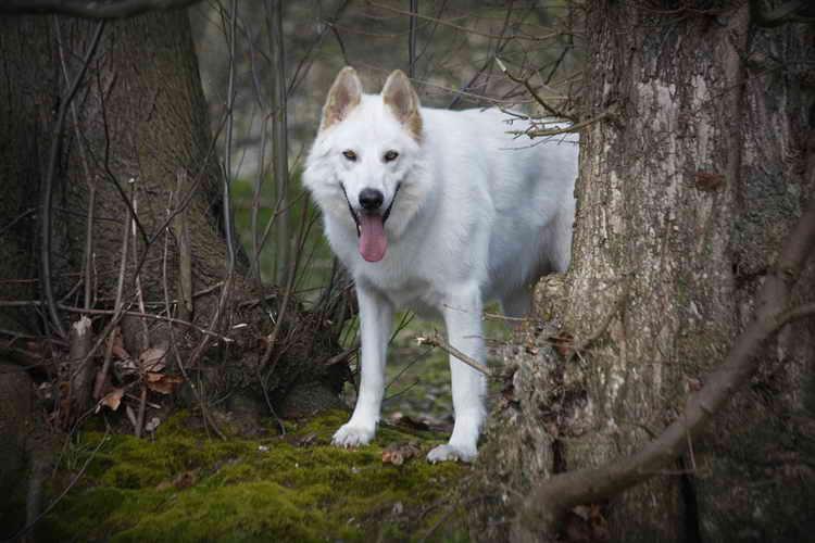 порода собак похожа на хаски только рыжая