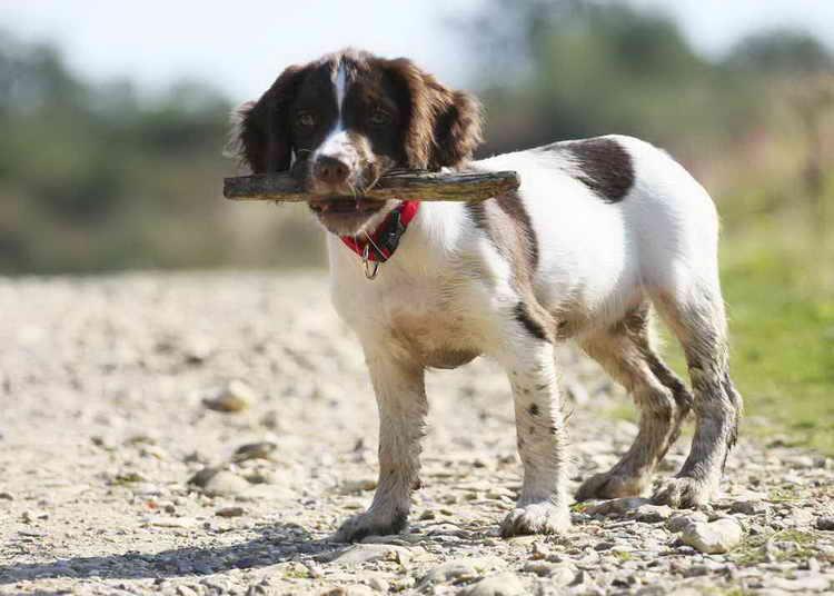 спаниель фото собаки все виды