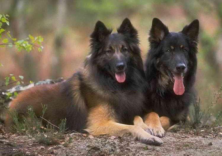 тервюрен порода собак