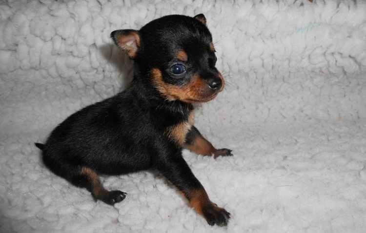 цвергпинчер щенок