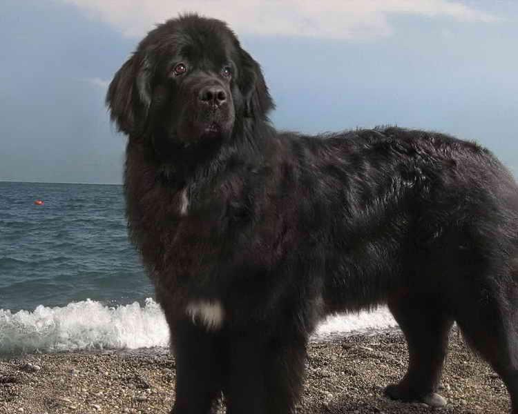 ньюфаундленд порода собак цена