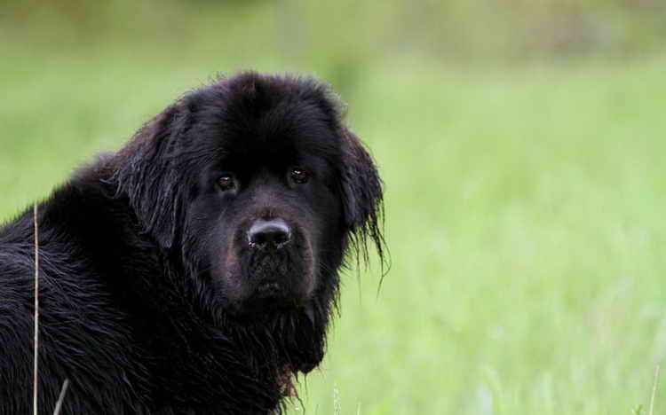 водолаз собака, ньюфаундленд порода собак фото