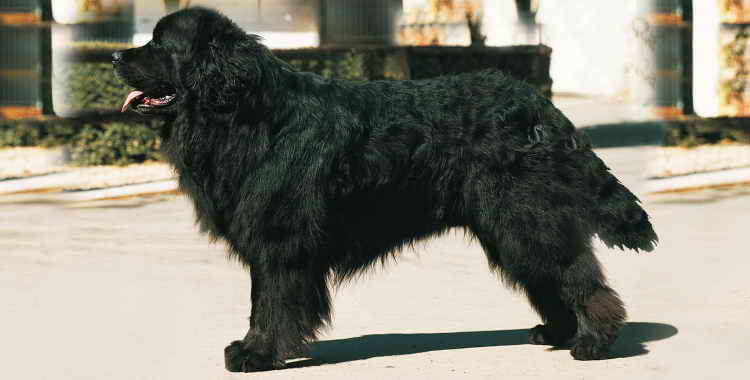 Порода собак водолаз фото