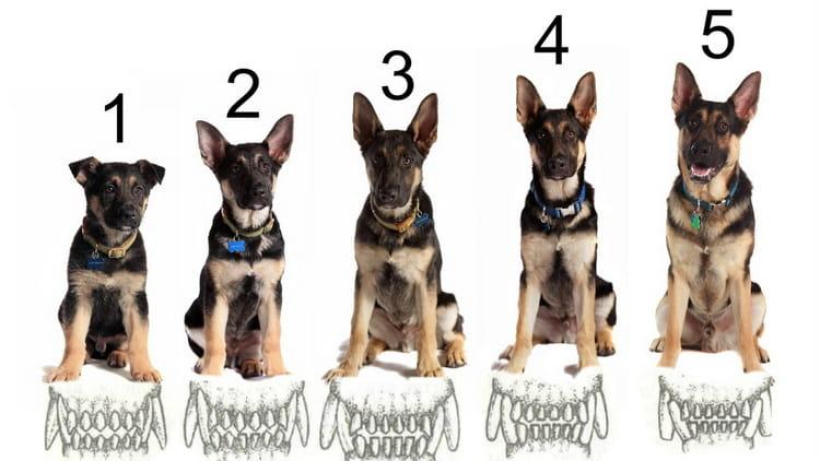 как определить возраст собаки по зубам фото